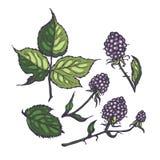 Folhas e amoras-pretas Grupo tirado mão da ilustração para o projeto botanical ilustração stock