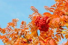 Folhas e bagas de Rowan Imagens de Stock