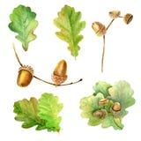 Folhas e bolotas do carvalho Imagem de Stock Royalty Free