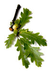 Folhas e bolotas do carvalho Fotos de Stock