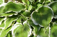Folhas e branco do verde Imagens de Stock Royalty Free
