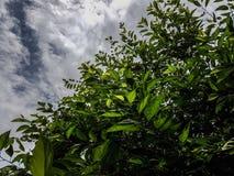Folhas e céu do verde Fotografia de Stock Royalty Free