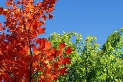 Folhas e céu do verde da árvore de bordo vermelho imagens de stock royalty free