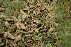 Folhas e cones Imagens de Stock