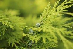 Folhas e cones do chamaecyparis Foto de Stock Royalty Free
