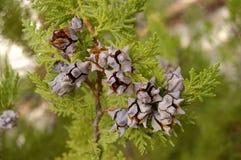 Folhas e cones no cipreste Imagens de Stock Royalty Free