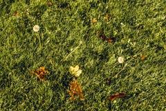 Folhas e dentes-de-leão caídos no campo de grama no outono Fotografia de Stock Royalty Free