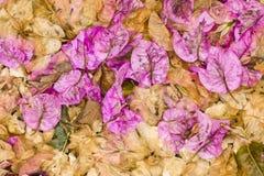 Folhas e flores caídas de Bouganvillea Fotografia de Stock