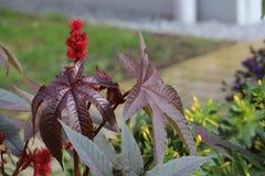 Folhas e flores da semente de rícino venenosa (Ricinus communis) Fotografia de Stock