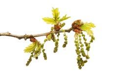 Folhas e flores do carvalho Imagens de Stock Royalty Free