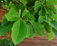 Folhas e fruto verde-claro da magnólia do pepino Imagens de Stock