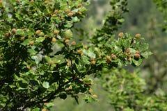 Folhas e frutos da faia Fotografia de Stock