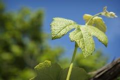 Folhas e gavinhas novas da videira em um fundo do céu azul Fotografia de Stock