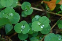 Folhas e gotas Foto de Stock