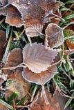 Folhas e grama congeladas do vidoeiro Fotografia de Stock
