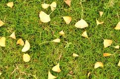 Folhas e grama do Ginkgo Fotografia de Stock Royalty Free