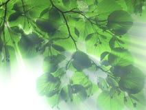 Folhas e luz Fotos de Stock