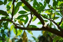 Folhas e luz do sol do verde Foto de Stock Royalty Free