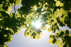 Folhas e o sol Fotos de Stock