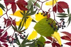 Folhas e outro da marijuana Fotografia de Stock Royalty Free