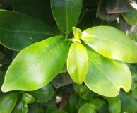 Folhas e plantas verdes da natureza Imagens de Stock Royalty Free