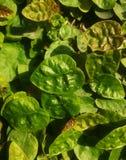 Folhas e plantas verdes da natureza Imagem de Stock