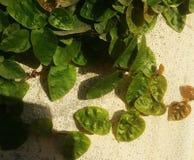 Folhas e plantas verdes da natureza Imagem de Stock Royalty Free