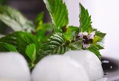Folhas e ramos da hortelã selvagem verde fresca em um vidro imagem de stock royalty free