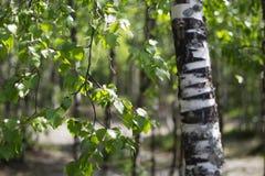 Folhas e ramos de um vidoeiro Imagens de Stock