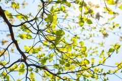 Folhas e ramos frescos do corniso (Cornus florida) e da luz do sol fotografia de stock