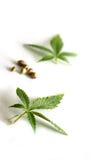 Folhas e sementes da marijuana Imagem de Stock