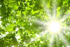 Folhas e sol do verde