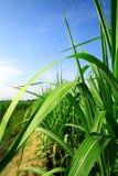 Folhas e sugarcane das hastes foto de stock royalty free