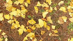 Folhas em forma de leque do ` s de Biloba da nogueira-do-Japão no outono imagens de stock royalty free
