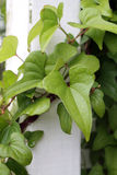 Folhas em um polo branco da cerca Fotografia de Stock Royalty Free