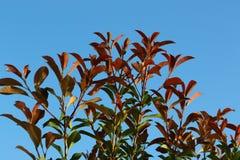 Folhas em um ramo Foto de Stock Royalty Free