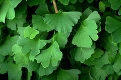 Folhas em uma árvore do Ginkgo Fotografia de Stock