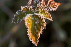 Folhas em uma manhã do inverno fotografia de stock royalty free