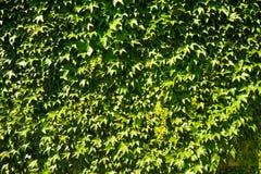 Folhas em uma parede Foto de Stock