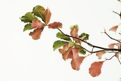 Folhas em vermelho e em verde no fundo branco Imagens de Stock
