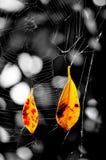 Folhas em Web de aranha Fotografia de Stock