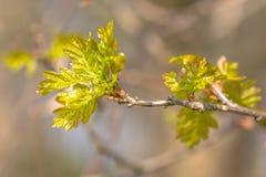 Folhas emergentes do carvalho Fotografia de Stock