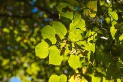 Folhas ensolaradas Fotos de Stock Royalty Free