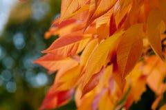 Folhas ensolaradas da laranja Fotografia de Stock Royalty Free