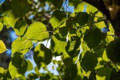 Folhas ensolaradas do Linden Fotografia de Stock Royalty Free