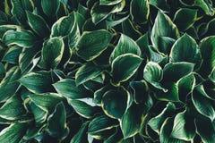 Folhas escuras do Hosta Foto de Stock Royalty Free