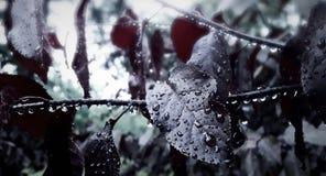 folhas escuro-vermelhas com pingos de chuva Imagem de Stock Royalty Free