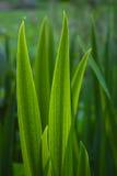 Folhas estreitas do verde Foto de Stock