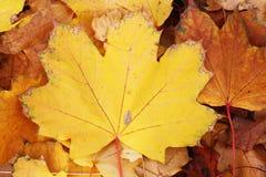 Folhas exteriores amarelas no parque Folhas no outono da queda Fundo bonito do teste padrão da textura da folha do close up Foto de Stock