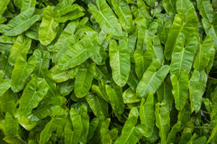 Folhas fechados-acima do verde com waterdrop Foto de Stock